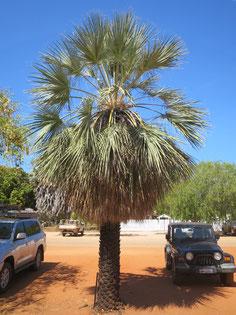 Livistona alfredii kultiviert in Broome