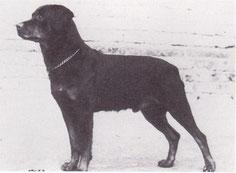 Rottweilerrüde um 1934 - Quelle: google