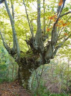 駒ヶ岳東尾根の標高430mあたりの芸術的な巨木
