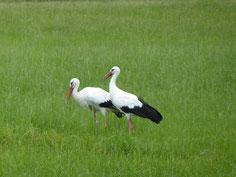 Storchenpaar an den Schmutterwiesen