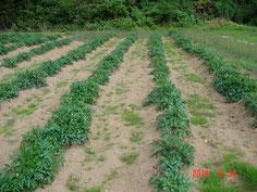 砂質土壌に春定植しましたが、生育は悪いです。時期外れの暑さと梅雨時期に雨が 少なかったせいでしょうか?