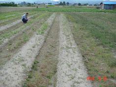 水はけを考慮し、砂質土壌に播種しましたが苗は残念な数になってしまいました