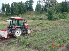 刈払い機により地上部を刈取り、収穫機がその後、掘取り作業を行う 体制です