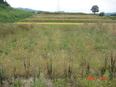 圃場主が雑草対策に負けて、放置した圃場ですが、しぶとく生育してます。