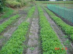 本年播種した圃場状況で、定植できる大きさになっています。