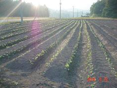 通常の定植作業を終 えた圃場です。