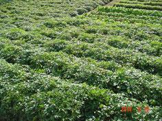 本年収穫する薬草の生育状況です、雑草を放置プレイした圃場もありますが たくましく生育しています。