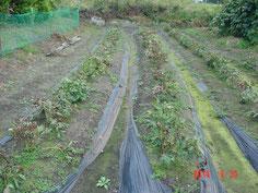 これは別種類の薬草です、ビニルマルチ敷きで良い感じで生育してます。収穫まで 数年かかります。