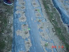 ビニルマルチを敷いて、雑草対策とした定植圃場を作った場所です。