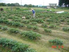 抽苔(花)を除去した圃場です、歯抜け状態ですが収穫を待つだけです。
