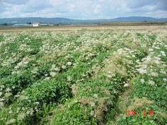 抽苔(花)を付けてしまった圃場です、こうなると抜き取り除去するしかありません