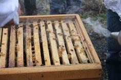offenes Bienenvolk