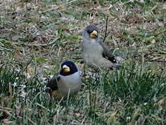 ・20015年2月6日 小石川植物園 コイカルのペア