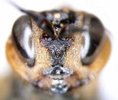 ニホンヒラタタマバチ:同じ個体の顔面