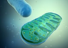 stark vergrößertes Mitochondrium