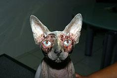 Dermatite sévère chez un chat