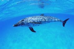 バハマドルフィンスイムクルーズ,イルカの写真&動画