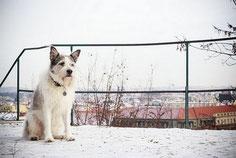 chien blanc et noir assis dans la neige par coach canin 16 éducateur canin en charente