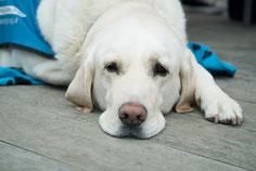 un chien labrador blanc malade couché par coach canin 16 éducateur canin Angoulême