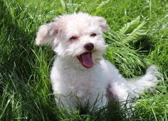 un chien bichon maltais blanc assis dans l'herbe aboie par coach canin 16 educateur canin à domicile charente