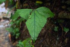 コウモリソウの葉