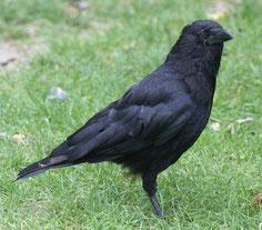 Une corneille noire