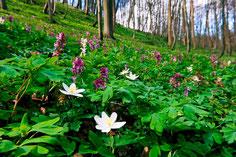Frühlingsgeophyten mit Lerchensporn im NSG Schwiemelkopf © F. Grawe, Kulturland Kreis Höxter