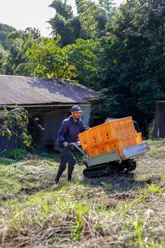 キウイ収穫のお手伝い