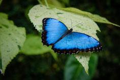 Schmetterlingsclub