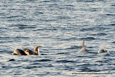 Delfine vor Vrsar - September 2016