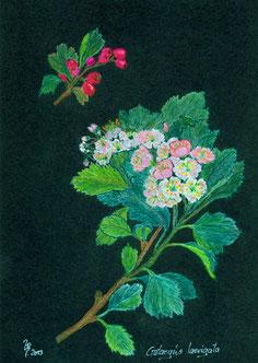 Pastelkreidezeichnung Ulrike B Weißdorneschow