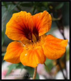 sonnige Kapuzinerkresseblüte