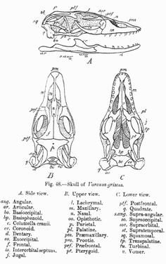 Schädel des Wüstenwarans (V. griseus)