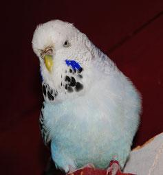 weiß, flieder, violett, opalin, TCB (Galadriel)
