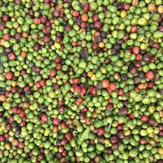 Das Ergebnis einer typischen Billigkaffee-Ernte
