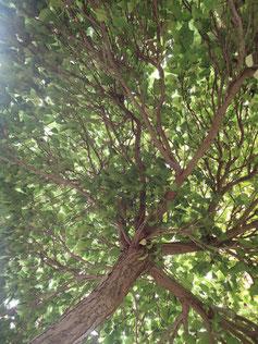 Hausbäume Baumschule Pelz