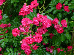 Rose Crimson Shower