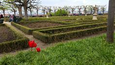 Blick auf den Rosengarten (leider nur mit 3 Tulpen bestückt)