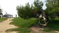 Das Wachstum dieses Baums muss man schon genau betrachten...