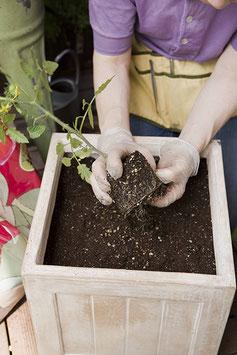 鉢に砂を入れ、苗を植えます