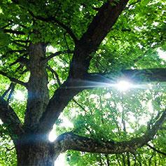 Sonnenstrahlen fallen durch eine grüne Baumkrone