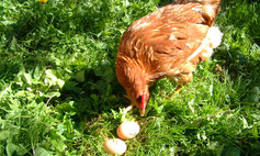 Legehennen und Eier von der Fam. Truskaller in Malta