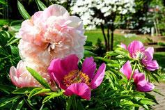 weiße und rosane Stauden für den Garten