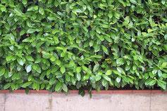 immergrüne Heckenpflanzen wie Kirschlorbeer