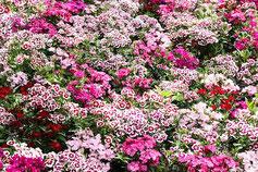 weiße und rosane Geranien-Blumen