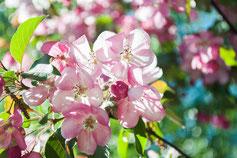 blühende Obstbäume für den Garten