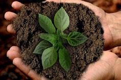 Zwei Hände halten eine blühende Pflanze