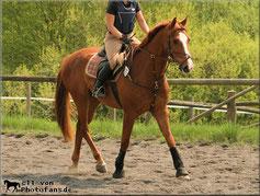BAZINGA, Hengst, Holsteiner, 10 Jahre