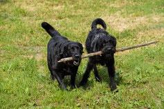 deux chiens noirs tiennent un bout de bois dans leur gueule par coach canin 16 éducateur canin charente
