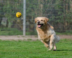 Un chien golden retriever courre après une balle jaune par coach canin 16 educateur canin à domicile en charente
